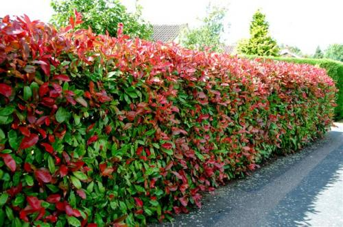 Photinia-Red-Robin-Hedge